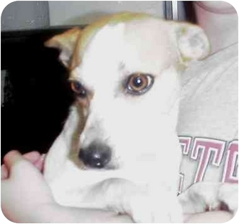 Jack Russell Terrier Dog for adoption in Manassas, Virginia - eva