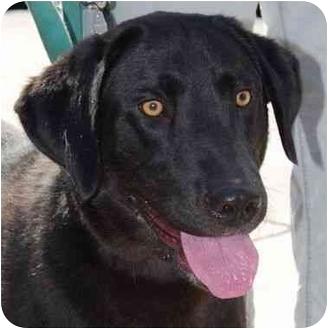 Labrador Retriever Mix Dog for adoption in San Diego, California - HAZEL