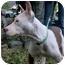 Photo 3 - American Pit Bull Terrier Mix Dog for adoption in Shoreline, Washington - Sharla