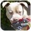 Photo 4 - American Pit Bull Terrier Mix Dog for adoption in Berkeley, California - Bishop