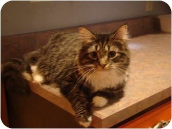 Maine Coon Cat for adoption in Muncie, Indiana - Gil--PETSMART