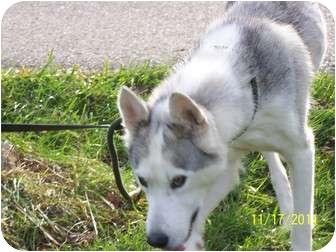 Siberian Husky Dog for adoption in Zanesville, Ohio - Delta