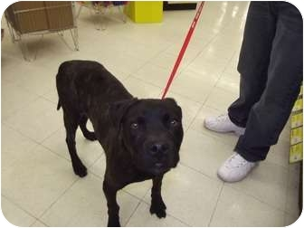 Mastiff Mix Dog for adoption in Oak Lawn, Illinois - Louie