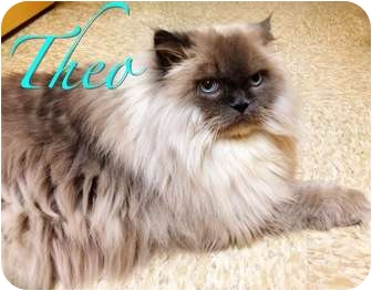 Himalayan Cat for adoption in Foothill Ranch, California - Theo