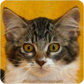 Maine Coon Kitten for adoption in Davis, California - Chimnie