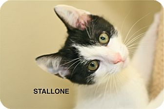 Domestic Shorthair Kitten for adoption in Coronado, California - Stallone