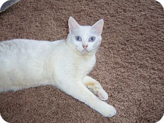 Siamese Cat for adoption in Taylor Mill, Kentucky - Mercedes-Blue Eyes!