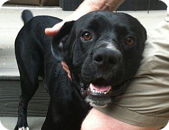 Boxer/Labrador Retriever Mix Dog for adoption in Snohomish, Washington - Blakely
