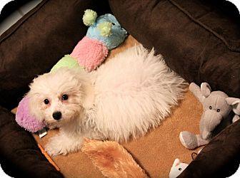 Bichon Frise Mix Dog for adoption in Elgin, Illinois - STABLER