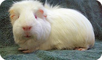 Guinea Pig for adoption in Lewisville, Texas - Bobby