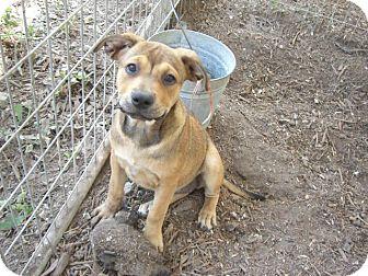 Labrador Retriever Mix Puppy for adoption in Fair Oaks Ranch, Texas - Penny