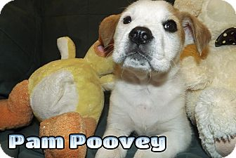 German Shorthaired Pointer/Treeing Walker Coonhound Mix Puppy for adoption in Mechanicsburg, Pennsylvania - Pam Poovey