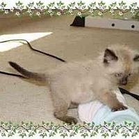 Adopt A Pet :: Siamee - KANSAS, MO