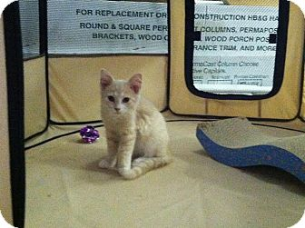 Domestic Shorthair Kitten for adoption in Waldorf, Maryland - Ace