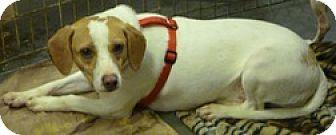 Beagle Mix Dog for adoption in Alexis, North Carolina - Ham