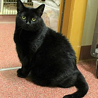 Adopt A Pet :: Blackie - Saranac Lake, NY