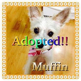 Chinese Crested/Chihuahua Mix Dog for adoption in Kenmore, New York - Muffin