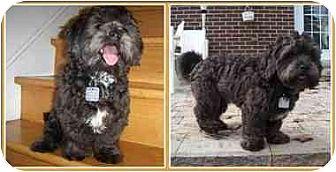 Shih Tzu/Poodle (Miniature) Mix Puppy for adoption in Kirkland, Quebec - Mookie