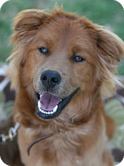 Chow Chow/Golden Retriever Mix Puppy for adoption in Studio City, California - Tony