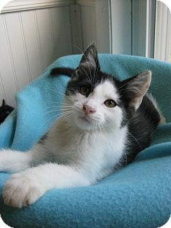 Domestic Shorthair Kitten for adoption in Bloomsburg, Pennsylvania - Eli