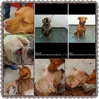 American Staffordshire Terrier Mix Dog for adoption in Boca Raton, Florida - Honey