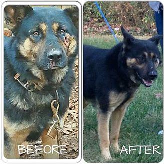 German Shepherd Dog Dog for adoption in Morrisville, North Carolina - Captain