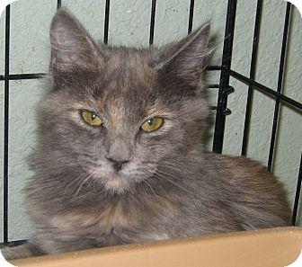 Calico Kitten for adoption in Bulverde, Texas - Isabel
