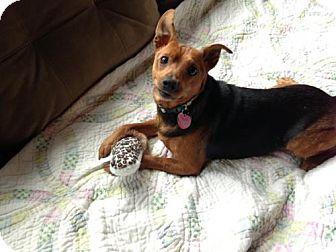Miniature Pinscher Mix Dog for adoption in Tyrone, Pennsylvania - Benny