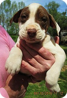 American Bulldog/English Setter Mix Puppy for adoption in Williston Park, New York - Manfred