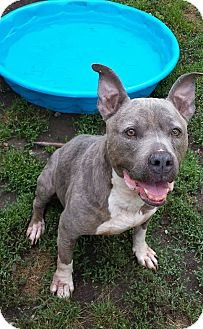 American Pit Bull Terrier Dog for adoption in Fayette City, Pennsylvania - Tinker