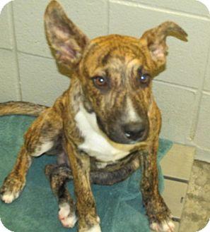 Retriever (Unknown Type) Mix Dog for adoption in Aiken, South Carolina - HENRIK