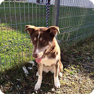 Husky Mix Puppy for adoption in Ottawa, Ontario - Maple