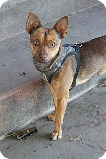 Dachshund/Terrier (Unknown Type, Small) Mix Dog for adoption in Tracy, California - Ruben-ADOPTED!