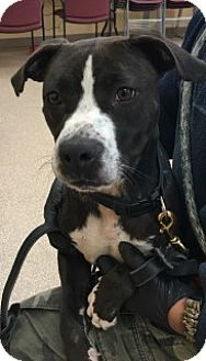 American Pit Bull Terrier Mix Dog for adoption in Saginaw, Michigan - Nevada