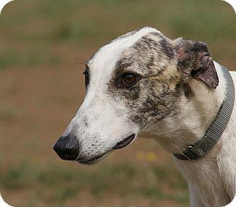 Greyhound Dog for adoption in Portland, Oregon - Zag