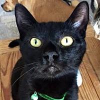 Domestic Shorthair Cat for adoption in Burlington, North Carolina - VAN GOGH