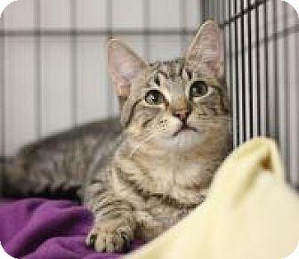 Domestic Shorthair Cat for adoption in Yukon, Oklahoma - KR 5 Brown Tabby Girl