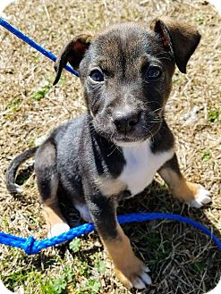 Rat Terrier/Chihuahua Mix Puppy for adoption in Goodlettsville, Tennessee - Gunner