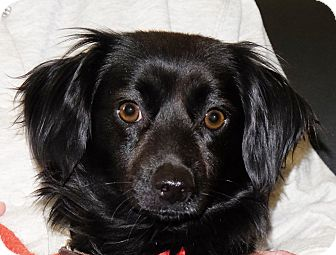 Chihuahua Mix Dog for adoption in Spokane, Washington - Rocky