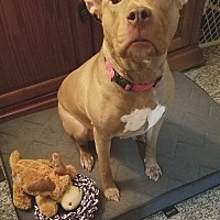 American Pit Bull Terrier Mix Dog for adoption in Rockaway, New Jersey - Brandi