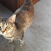 Adopt A Pet :: Tabby *Waiting Too Long* - Minneapolis, MN