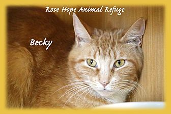 American Shorthair Cat for adoption in Waterbury, Connecticut - Becky