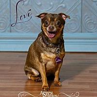 Adopt A Pet :: Levi - Valparaiso, IN