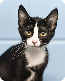 Domestic Shorthair Kitten for adoption in Chattanooga, Tennessee - Tinker