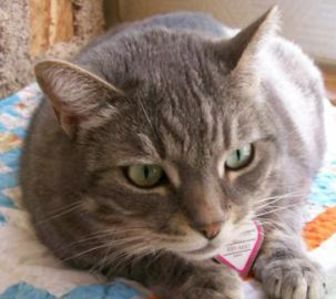 Domestic Shorthair/Domestic Shorthair Mix Cat for adoption in Mountain Center, California - Bayley