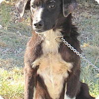 Border Collie Mix Puppy for adoption in Lakewood, Colorado - Babs