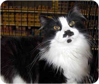 Domestic Longhair Cat for adoption in Overland Park, Kansas - Groucho