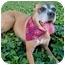 Photo 1 - Boxer/Australian Shepherd Mix Dog for adoption in Santa Monica, California - SADIE