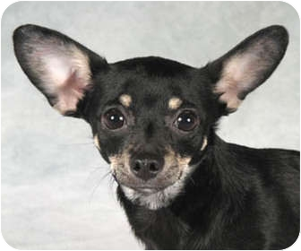 Miniature Pinscher/Chihuahua Mix Dog for adoption in Chicago, Illinois - Annie