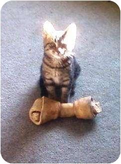 Domestic Shorthair Kitten for adoption in Kirkwood, Delaware - Pixie